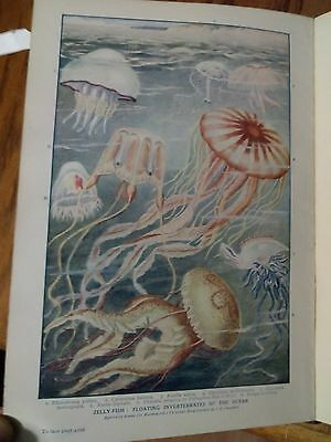 Jelly Fish Invertebrates of the Ocean Single Page 1920's Encyclopedia to Frame ?