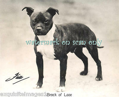 1935 OLD CIG CARD STAFFORDSHIRE PIT BULL TERRIER DOG~NEW Large Note Cards
