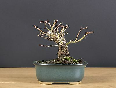 bonsai acer palmatum ( japanese maple )