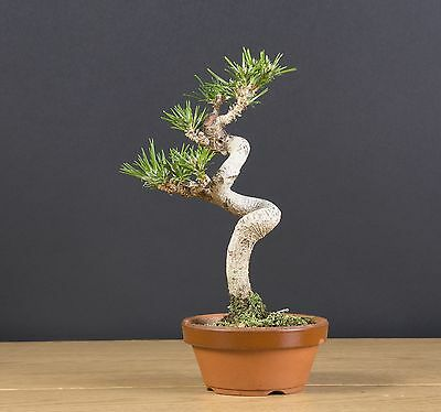 pre bonsai pinus thumbergii ( japanese black pine )