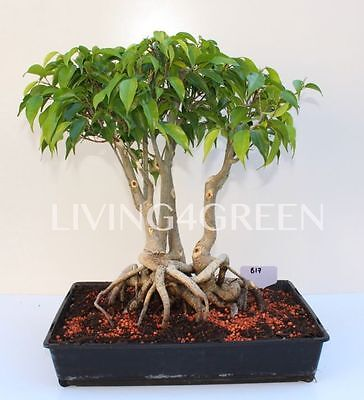 Bonsai Ficus - Fast Shipping - Qld Stock! Great For Any House! B17