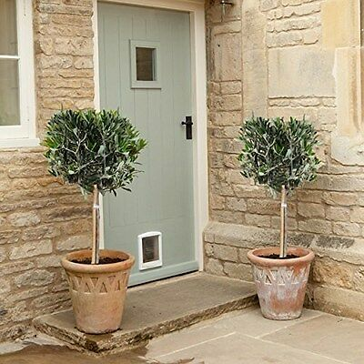 Pair of Hardy Standard Olive Tree (Set of 2) 1m tall  Easy Care Maintain Plants