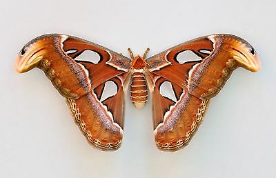 Real Attacus Atlas Moth A1 Quality Unmounted Saturniidae Female Wings Closed