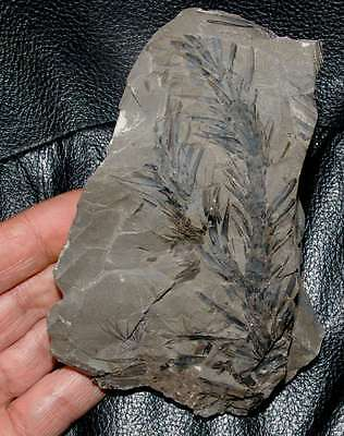 Beutiful, very well preserved fossil Lycopod plan - Lepidodendron lycopodioides