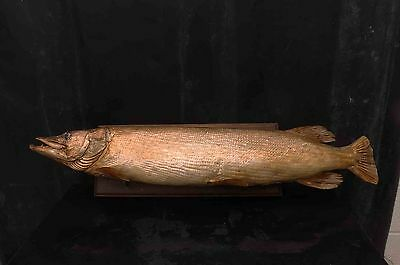 """ The Pike "" taxidermy on a board."