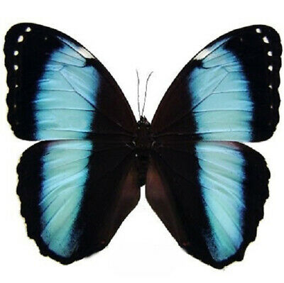 One Real Butterfly Blue Black Morpho Achilles Unmounted Wings Closed