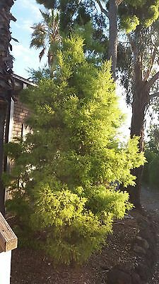 Mature Home Decor Tree Plant for Landscape Garden not in pot