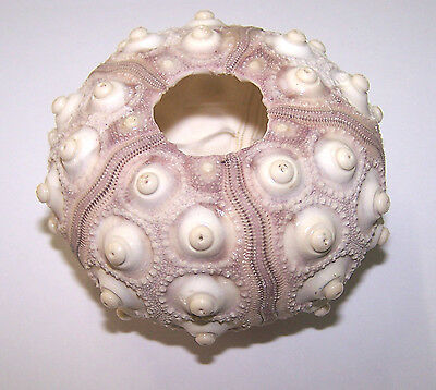 Sputnik Sea Urchin Shells - Craft Work, Embellishments, Displays etc.
