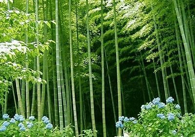 1000+ Moso bamboo Seeds Phyllostachys Pubescens Giant Rare seeds