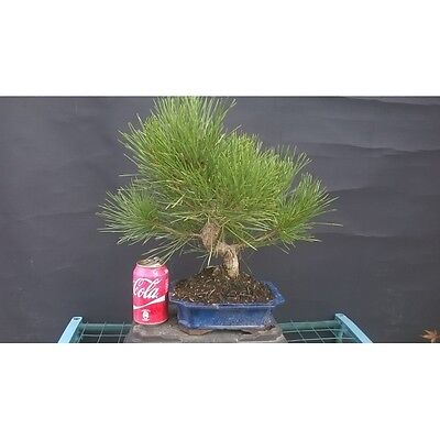 Bonsai Pinus Thumbergii