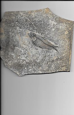 fossil fish from the Green River Wyoming Fine bones & great eye