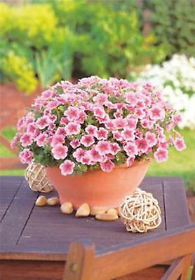 Surfinia - Petunia - Million Bells - Coral Pink - seeds