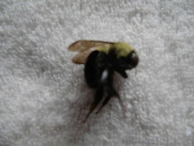 Large Bee Insect Specimen