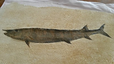 Fossil Fish / Pesce Fossile -  Top Quality !!