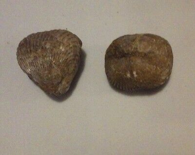 2 Fossil clams