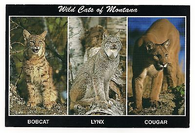 Wild Cats of Montana Bobcat Lynx Cougar Postcard