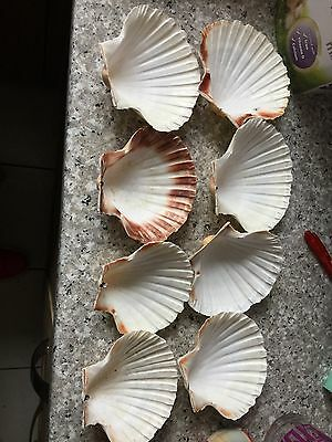 8 Oyster Shells Craft Use Bargain