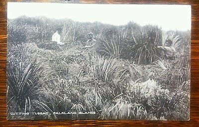 Superb early postcard Falkland Islands, cutting tussac RA Hardy, Port Stanley
