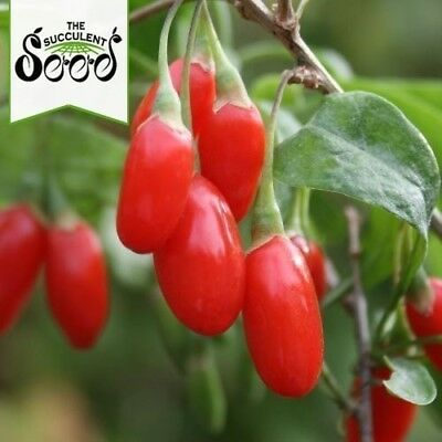 GOJI BERRY -  Lycium barbarum (200, 1000 or 5000 Seeds)
