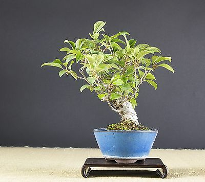 bonsai illex serrata