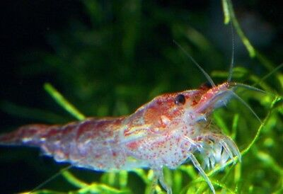 10 X Red Cherry Shrimp