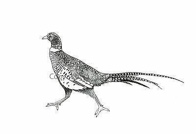 PHEASANT Design Original Artwork Pen and Ink Drawing Pheasant Print / Picture A4