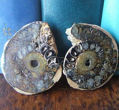 Ammonite Fossil Sliced Pair Polished Small from Morocco Dark