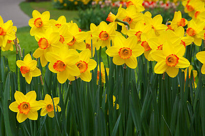 Yellow Daffodils Fragrance Oil Candle Making Supplies FREE SHIP