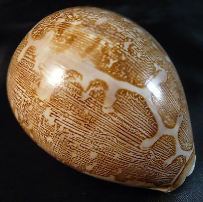 Vintage Leporicypraea Mappa Map Cowrie Shell Mint Collectors Pacific Ocean