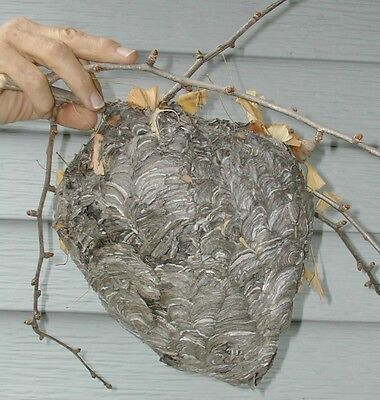 White Faced Hornet's Nest with branches, Ginkgo leaves!