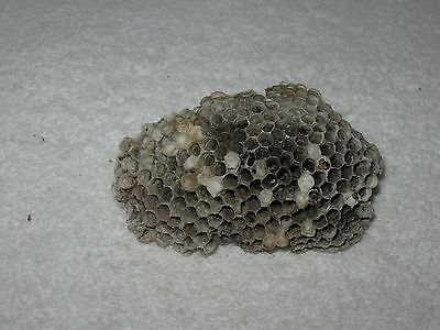 Texas Honeycomb Paper Yellow Jacket Nest ~ Taxidermy, Science Project, Boy Scout