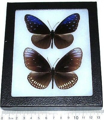 Real Framed Butterflies Blue Indonesian Danaidae Male Female
