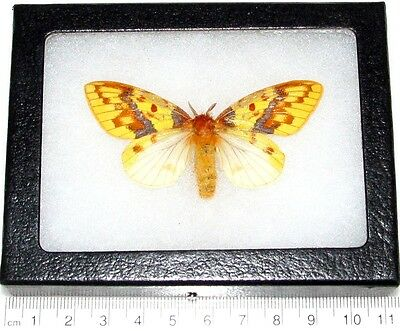Real Framed Butterfly Moth Cameroon Africa Rare Female