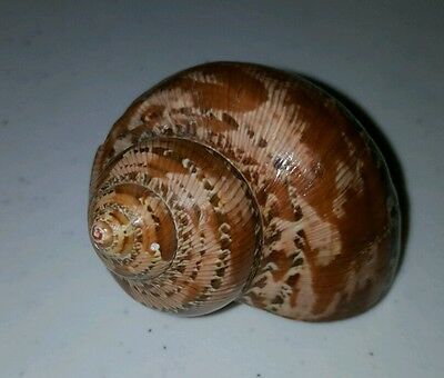 VTG.  Sea Shell Okinawa turbo petholatus (Camo Looking Shell)
