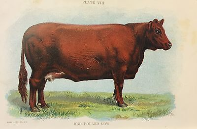 Vintage RED POLLED COW LITHOGRAPH Bovine Cattle 1898 RARE Art Print