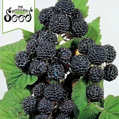 RASPBERRY - Blackcap (100 Seeds)
