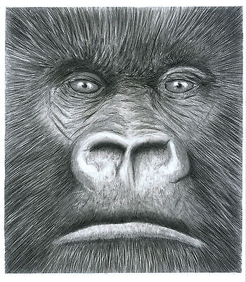 Gorilla Head - Pencil Drawing Print : A4 Limited Edition Of 100 Hand Numbered