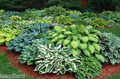 Hosta Collection x 8 bare root perennial plants named varieties