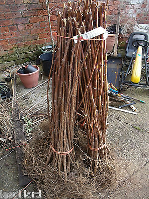 6, 12 or MIXED Raspberry long canes ready to fruit this year Choice of varieties