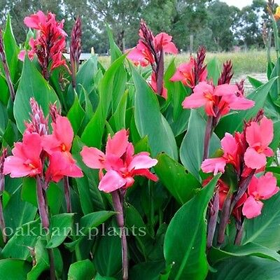 CANNA LILY LEILANI  cerise pink flowers