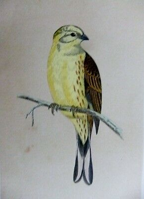 "british birds by rev f.o.morris 1st ""ed"" c 1852 1  hand coloured engraving"