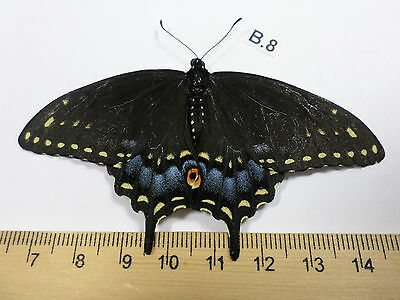 Unmounted Butterfly, insects