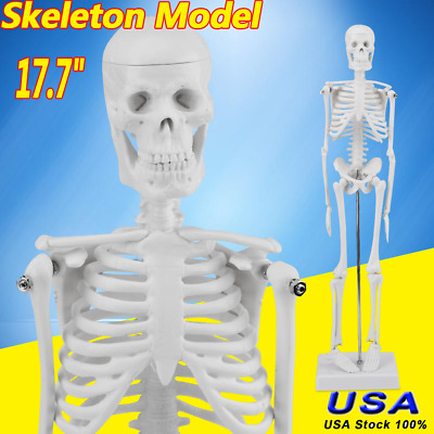 "17.7"" Teach Human Anatomical Anatomy Skeleton Model w/ STAND for Doctor/Student"