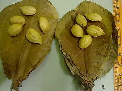 20 Large Dried Catappa Leaves + 10 Catappa Tree Seeds..free Tracking Number