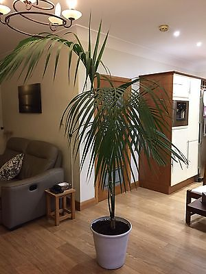 Indoor Palm Plant With Pot