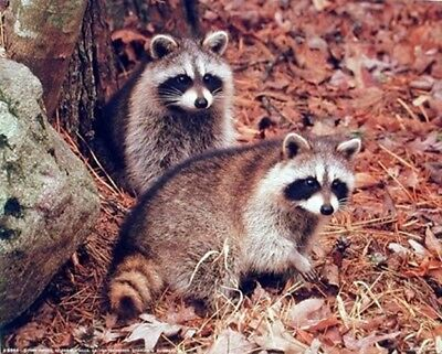 Pair of Racoon Wildlife Baby Animal Wall Decor Picture (8x10)