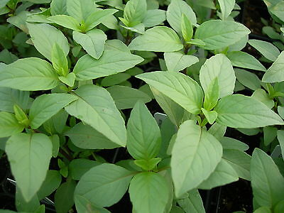 Lime Basil  Thai Heirloom Lime Scent And Flavor 200 Seeds  Combined Shipping
