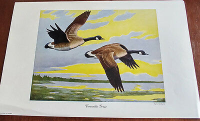 1946 Carling Breweries Conservation Club Picture - Canada Goose