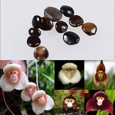 10pcs Magic Monkey Face Flower Seeds Plant Flower Seeds Grow Bonsai Home Garden