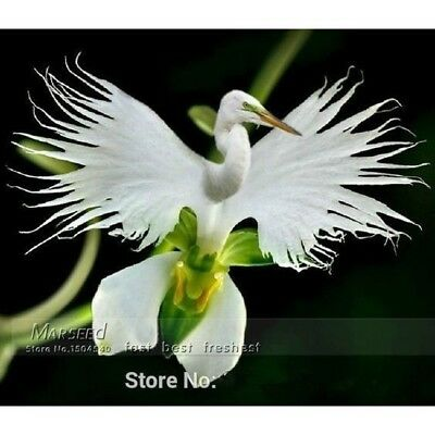 100 Japanese Radiata Seeds White Egret Orchid Seeds White Flowers Orchidee Garde